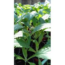 plant d'Artichaut vert