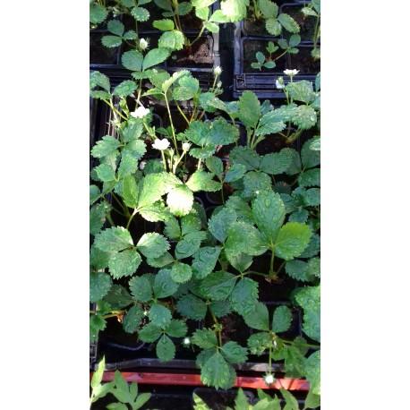 plant de fraisier Bio