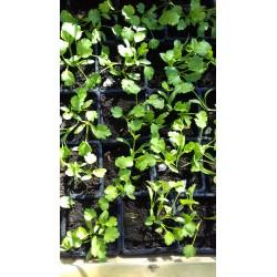 plant de coriandre