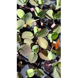 plant de chou vert