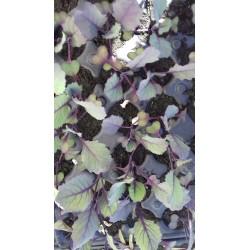 plant de chou rouge