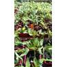 plant de tomate green zebra