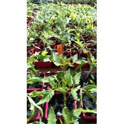 plant de noire de crimée bio
