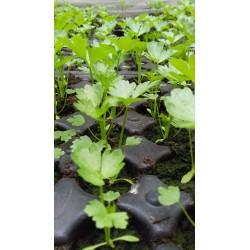 Plant de céleri rave bio