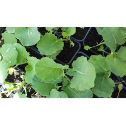 Pot de chou brocolis bio