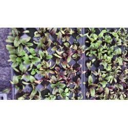 Plant de betteraves bio