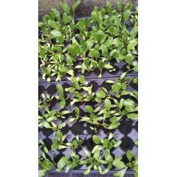 Plant de blettes bio